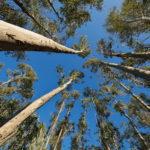 Forêt d'eucalyptus en contre plongée - Corse